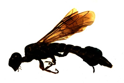 Morphbank biodiversity NSF FSU Florida State University HymAToL Schulmeister Transmitted light, brightfield No preparation Whole body Lateral Male Indeterminate M. Niehuis Adult EUROPE  GERMANY   Rheinland-Pfalz, Gimbsheim American Museum of Natural History Animalia Arthropoda Hexapoda Insecta Pterygota Neoptera Hymenoptera Symphyta Xiphydrioidea Xiphydriidae Xiphydria Xiphydria prolongata