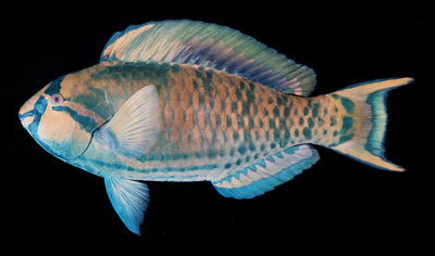 Morphbank biodiversity NSF FSU Florida State University John E. Randall's Fish Photographs  Transmitted light, brightfield Randall, J. E. 1961 A technique for fish photography. Copeia. 1961(2): 241-242 Whole body Lateral Unknown Indeterminate J.E. Randall Adult  PACIFIC OCEAN PITCAIRN   Pitcairn Island; W side; off Christian's Point; reef Bishop Museum Animalia Chordata Vertebrata Osteichthyes Actinopterygii Neopterygii Teleostei Acanthopterygii Perciformes Labroidei Scaridae Scarinae Scarus Scarus longipinnis