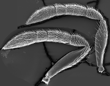 Morphbank biodiversity NSF FSU Florida State University HymAToL R. Burks SEM HMDS, gold-palladium coated Antennae Left lateral right mesal Male Indeterminate J. George Adult NORTH AMERICA  UNITED STATES   California, Los Angeles Co., San Pedro 3171 N. Gaffey st. DFSP Swedish Species Information Centre Animalia Arthropoda Hexapoda Insecta Pterygota Neoptera Hymenoptera Apocrita Terebrantes Chalcidoidea Pteromalidae Idioporus Idioporus affinis
