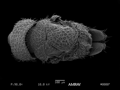 Morphbank biodiversity NSF FSU Florida State University mgates's group  SEM HMDS, gold-palladium coated Mesosoma Dorsal Male Indeterminate M. Gates Adult NORTH AMERICA  UNITED STATES   Rhode Island: Kent Co.: powerline right-of-way at junction of Route 117 and Toll Gate Road Smithsonian Institution Animalia Arthropoda Hexapoda Insecta Pterygota Neoptera Hymenoptera Apocrita Terebrantes Chalcidoidea Eurytomidae Eurytoma Eurytoma rhois
