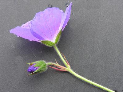 Morphbank biodiversity NSF FSU Florida State University Geranium  Digital, available light No preparation Flower bud Adaxial Hermaphrodite Indeterminate   Adult    Chicago Botanic Garden