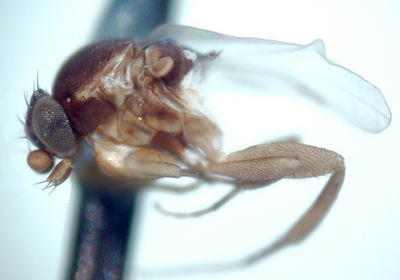 Morphbank biodiversity NSF FSU Florida State University Phoridae  digital camera HMDS Body Lateral Male Unknown P. Hibbs Adult SOUTH AMERICA  ECUADOR   Sacha Lodge Natural History Museum of Los Angeles County Animalia Arthropoda Hexapoda Insecta Pterygota Neoptera Diptera Brachycera Muscomorpha Phoridae Phorinae Cyrtophorina Cyrtophorina kerri
