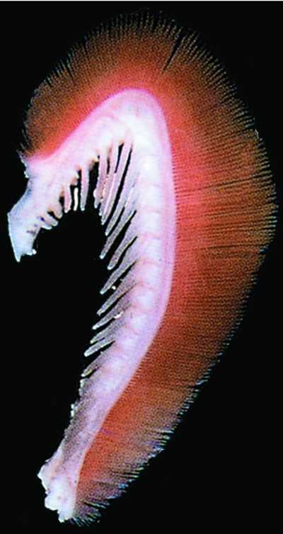 Morphbank biodiversity NSF FSU Florida State University Chromis Cybertaxonomy R.L. Pyle, J.L. Earle & B.D. Greene digital camera No preparation Gill arch Lateral Unknown Indeterminate R.L. Pyle and B.D. Greene Adult  PACIFIC OCEAN MICRONESIA, FEDERATED STATES OF   Caroline Islands, Chuuk; Puluwat Atoll; Alet Islet, S side [RLP-CAROLINES07-007] Bishop Museum Animalia Chordata Vertebrata Osteichthyes Actinopterygii Neopterygii Teleostei Acanthopterygii Perciformes Labroidei Pomacentridae Chromis Chromis brevirostris