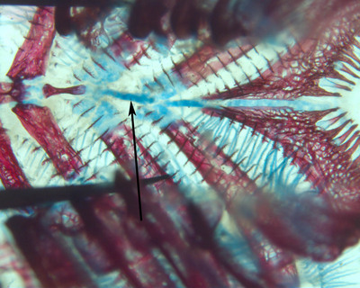 Morphbank biodiversity NSF FSU Florida State University Cypriniform Tree of Life  Digital Camera Cleared and counterstained for bone (Alizarin red) and cartilage (Alcian blue) basibranchial Dorsal unknown Unspecified  Unspecified       Cypriniform Tree of Life Project Animalia Chordata Vertebrata Osteichthyes Actinopterygii Neopterygii Teleostei Ostariophysi Cypriniformes Cobitoidea Catostomidae Ictiobinae Carpiodes Carpiodes cyprinusquillback couette quillback carpsucker