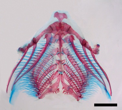 Morphbank biodiversity NSF FSU Florida State University Cypriniform Tree of Life  Digital Camera Cleared and counterstained for bone (Alizarin red) and cartilage (Alcian blue) gill arch Ventral unknown Unspecified  Unspecified       Cypriniform Tree of Life Project Animalia Chordata Vertebrata Osteichthyes Actinopterygii Neopterygii Teleostei Ostariophysi Cypriniformes Cobitoidea Balitoridae Nemacheilinae Acanthocobitis Acanthocobitis zonalternans