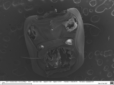 Morphbank biodiversity NSF FSU Florida State University chatzimanolis's group  SEM Air dried from ethanol, Au-Pd coated Undetermined multiple views Unknown Unknown S. Chatzimanolis Adult   UNSPECIFIED   Unspecified University of Tennessee at Chattanooga Animalia Arthropoda Hexapoda Insecta Pterygota Neoptera Coleoptera Polyphaga Staphyliniformia Staphylinoidea Staphylinidae Staphylininae Staphylinini Xanthopygina Isanopus Isanopus hinojosai