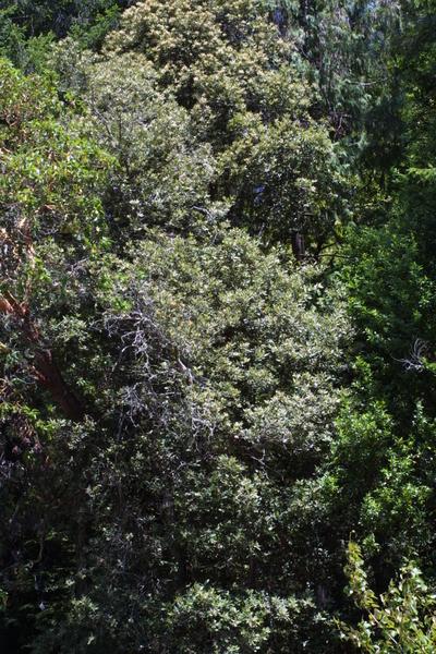Morphbank biodiversity NSF FSU Florida State University Bioimages Steven J. Baskauf Reflected light, macrophotography Live Whole plant General view Unspecified Unspecified Steven J. Baskauf Unspecified   UNITED STATES   California; Del Norte; Jedediah Smith Redwoods State Park Vanderbilt University Dept. of Biological Sciences Plantae Tracheobionta Magnoliophyta Magnoliopsida Hamamelidae Fagales Fagaceae Lithocarpus Lithocarpus densiflorustanoak