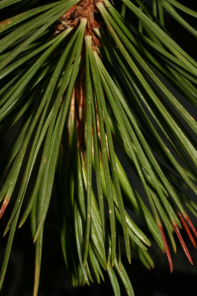 Morphbank biodiversity NSF FSU Florida State University Bioimages Steven J. Baskauf Reflected light, macrophotography Live Leaf Adaxial Unspecified Unspecified Steven J. Baskauf Unspecified North America  US   Wyoming, Park, Mount Washburn Vanderbilt University Dept. of Biological Sciences Plantae Tracheobionta Coniferophyta Pinopsida Pinales Pinaceae Pinus Pinus albicaulisscrub pine white pine whitebark pine