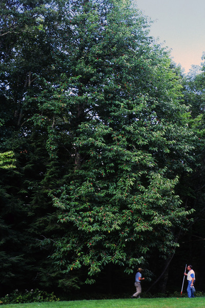 Morphbank biodiversity NSF FSU Florida State University 35-MM Slides James Ault Digital, available light No preparation Whole plant in fruit Location, wide shot Hermaphrodite Fall James Ault Adult   UNITED STATES   Blue Ridge Parkway, Pisgah Ridge in the Shining Rock Wilderness Area, Nantahala National Forest, North Carolina Chicago Botanic Garden Plantae Tracheobionta Magnoliophyta Magnoliopsida Magnoliidae Magnoliales Magnoliaceae Magnolia Magnolia acuminatacucumbertree cucumber-tree