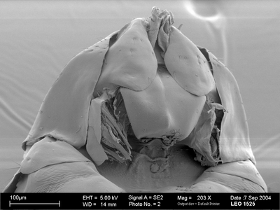 Morphbank biodiversity NSF FSU Florida State University HymAToL  SEM Not provided propectus ventral female Not provided Not provided adult Europe  France   details not provided State Museum of Natural History Stuttgart Animalia Arthropoda Hexapoda Insecta Pterygota Neoptera Hymenoptera Apocrita Terebrantes Chalcidoidea Agaonidae Blastophaga Blastophaga psenes