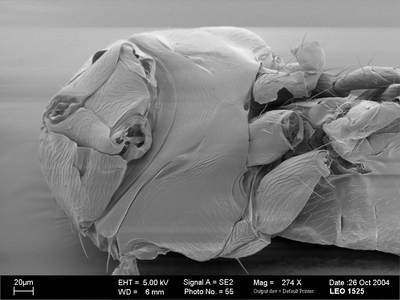 Morphbank biodiversity NSF FSU Florida State University HymAToL  SEM Not provided mesosoma ventral oblique female Not provided Not provided adult Europe  Germany   details not provided State Museum of Natural History Stuttgart Animalia Arthropoda Hexapoda Insecta Pterygota Neoptera Hymenoptera Apocrita Terebrantes Chalcidoidea Aphelinidae Coccophaginae Encarsia Encarsia formosa