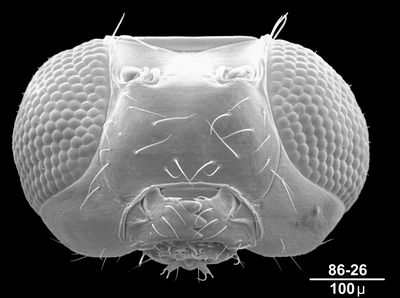 Morphbank biodiversity NSF FSU Florida State University HymAToL  SEM Not provided not provided not provided Not Provided Not provided Not provided not provided   UNKNOWN   Contact John Huber for locality information. Locality details to be provided in a future update. Canadian National Collection Animalia Arthropoda Hexapoda Insecta Pterygota Neoptera Hymenoptera Apocrita Terebrantes Chalcidoidea Mymaridae Australomymar
