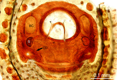 Morphbank biodiversity NSF FSU Florida State University jmiller's group J. Miller Auto-Montage Cleared in methyl salicylate Vulva Dorsal Female Unknown C. Griswold Adult Asia  CHINA   Yunnan: Longyang Co., Bawan Dist, Nankang Yakou Naturalis Biodiversity Center Animalia Arthropoda Chelicerata Arachnida Araneae Araneomorphae Anapidae Gaiziapis Gaiziapis zhizhuba