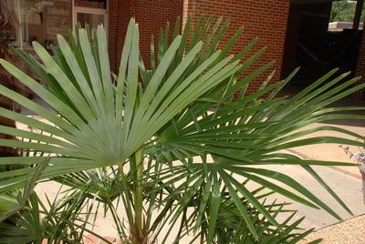Trachycarpus image