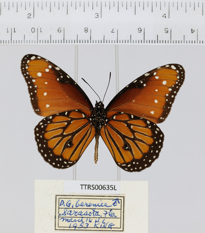 Morphbank biodiversity NSF FSU Florida State University Tall Timbers whole organism/Ventral/Digital Camera///Male/ Digital Camera Unspecified whole organism Ventral Male Unspecified  Unspecified       Tall Timbers Research Station Animalia Arthropoda Hexapoda Insecta Pterygota Neoptera Lepidopterabutterflies moths papillons papillons de nuit Borboleta Mariposa