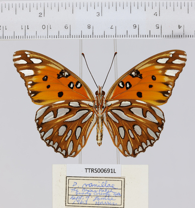 Morphbank biodiversity NSF FSU Florida State University Tall Timbers whole organism/Ventral/Digital Camera//// Digital Camera Unspecified whole organism Ventral Unspecified Unspecified  Unspecified       Tall Timbers Research Station Animalia Arthropoda Hexapoda Insecta Pterygota Neoptera Lepidopterabutterflies moths papillons papillons de nuit Borboleta Mariposa