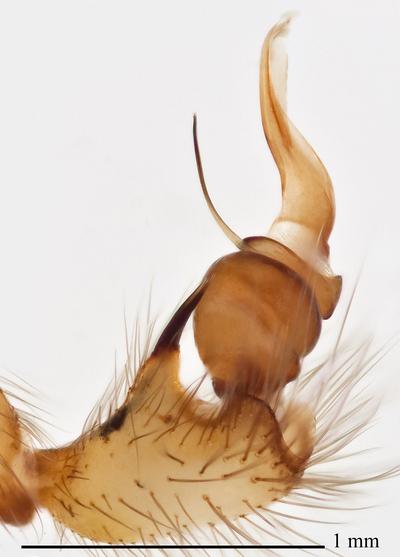 Morphbank biodiversity NSF FSU Florida State University SDSU Arthropod Biology  Image stacking Immersed in ethanol Palp Retrolateral Male Not specified  Unspecified UNSPECIFIED  UNITED STATES   NC: Haywood Co., Dogwood Flats Creek, W Longarm Mtn San Diego State University Animalia Arthropoda Chelicerata Arachnida Araneae Araneomorphae Hypochilidae Hypochilus Hypochilus pococki