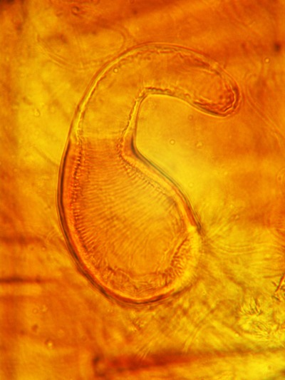 Morphbank biodiversity NSF FSU Florida State University mbowser's group                U.S. Fish & Wildlife Service, Kenai National Wildlife Refuge Animalia Arthropoda Hexapoda Insecta Pterygota Neoptera Siphonaptera Pulicidaecommon fleas