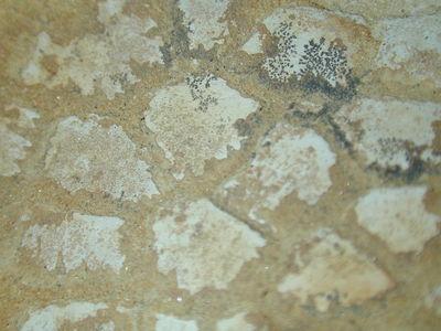 Morphbank biodiversity NSF FSU Florida State University amarquez's group  Reflected light, macrophotography No preparation Skin impression Unspecified Unknown Indeterminate Harmon and Crew Unknown NORTH AMERICA  UNITED STATES   Malta Montana, JDM Quarry (JR-224) American Museum of Natural History Animalia Chordata Vertebrata Reptilia Dinosauria Ornithischia Ornithopoda Hadrosauridae Brachylophosaurus Brachylophosaurus canadensis
