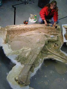 Morphbank biodiversity NSF FSU Florida State University amarquez's group  Reflected light, macrophotography No preparation Skeleton general view Not specified Unknown Indeterminate Harmon and Crew Unspecified NORTH AMERICA  UNITED STATES   Malta Montana, JDM Quarry (JR-224) American Museum of Natural History Animalia Chordata Vertebrata Reptilia Dinosauria Ornithischia Ornithopoda Hadrosauridae Brachylophosaurus Brachylophosaurus canadensis