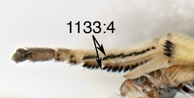 Morphbank biodiversity NSF FSU Florida State University ChalcidToL  Unknown Unknown Mid legs Ventral Unknown Unknown  Unknown UNKNOWN  UNKNOWN   Not provided University of California, Riverside Animalia Arthropoda Hexapoda Insecta Pterygota Neoptera Hymenoptera Apocrita Terebrantes Chalcidoidea Eupelmidae Eupelminae Brasema Brasema sp.