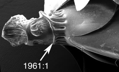 Morphbank biodiversity NSF FSU Florida State University ChalcidToL  Unknown Unknown Petiole Ventral Unknown Unknown  Unknown UNKNOWN  UNKNOWN   Not provided University of California, Riverside Animalia Arthropoda Hexapoda Insecta Pterygota Neoptera Hymenoptera Apocrita Terebrantes Chalcidoidea Eurytomidae Eurytoma Eurytoma gigantea