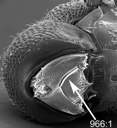 Morphbank biodiversity NSF FSU Florida State University ChalcidToL  Unknown Unknown Propectus Ventral Unknown Unknown  Unknown UNKNOWN  UNKNOWN   Not provided University of California, Riverside Animalia Arthropoda Hexapoda Insecta Pterygota Neoptera Hymenoptera Apocrita Terebrantes Chalcidoidea Eurytomidae Eurytoma Eurytoma gigantea