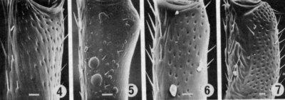 Morphbank biodiversity NSF FSU Florida State University ChalcidToL  Unknown Unknown Antennae Ventral Unknown Unknown  Unknown UNKNOWN  UNKNOWN   Not provided University of California, Riverside Animalia Arthropoda Hexapoda Insecta Pterygota Neoptera Hymenoptera Apocrita Terebrantes Chalcidoidea Perilampidae Chrysolampus Chrysolampus sp.
