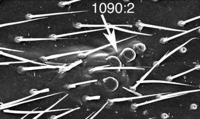 Morphbank biodiversity NSF FSU Florida State University ChalcidToL  Unknown Unknown Forewings Dorsal Unknown Unknown  Unknown UNKNOWN  UNKNOWN   Not provided University of California, Riverside Animalia Arthropoda Hexapoda Insecta Pterygota Neoptera Hymenoptera Apocrita Terebrantes Chalcidoidea Pteromalidae Cleonymus Cleonymus sp.