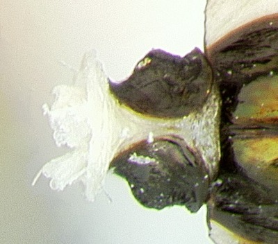 Morphbank biodiversity NSF FSU Florida State University ChalcidToL  Unknown Unknown Petiole Ventral Unknown Unknown  Unknown UNKNOWN  UNKNOWN   Not provided University of California, Riverside Animalia Arthropoda Hexapoda Insecta Pterygota Neoptera Hymenoptera Apocrita Terebrantes Chalcidoidea Pteromalidae Miscogasterinae Lamprotatus Lamprotatus sp.