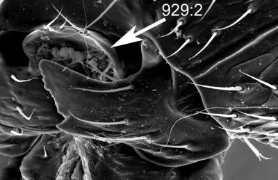 Morphbank biodiversity NSF FSU Florida State University ChalcidToL  Unknown Unknown Head Anterior Unknown Unknown  Unknown UNKNOWN  UNKNOWN   Not provided University of California, Riverside Animalia Arthropoda Hexapoda Insecta Pterygota Neoptera Hymenoptera Apocrita Terebrantes Chalcidoidea Rotoitidae Rotoitidae Chiloe Chiloe micropteron