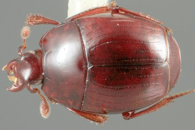 Morphbank biodiversity NSF FSU Florida State University mcaterino's group Caterino & Tishechkin Digital, macro No preparation Whole body Dorsal Unspecified Indeterminate  Adult North America  Costa Rica Puntarenas   Santa Barbara Museum of Natural History Animalia Arthropoda Hexapoda Insecta Pterygota Neoptera Coleoptera Polyphaga Staphyliniformia Hydrophiloidea Histeridae Histerinae Exosternini Operclipygus Operclipygus montanus
