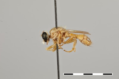 Morphbank biodiversity NSF FSU Florida State University tdikow's group J. Londt DSLR camera, MP-E65 mm macrolens, twin flash, GIGAmacro Magnify2 Pinned whole organism habitus Lateral Male Not Applicable Museum Staff Adult Africa  SOUTH AFRICA Northern Cape  Kamieskroon National Museum of Natural History, Smithsonian Institution Animalia Arthropoda Hexapoda Insecta Pterygota Neoptera Diptera Brachycera Muscomorpha Asilidae Microphontes Microphontes megoura